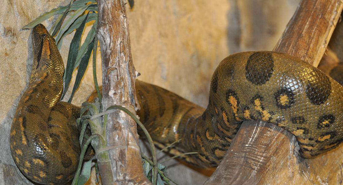 Zoo Barben Green Anaconda