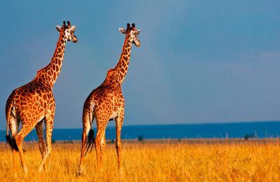 girafessavane