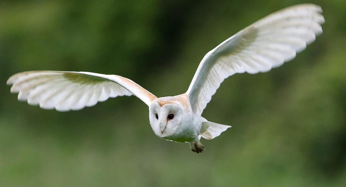 Le sauveur d 39 oiseaux - Image chouette effraie ...