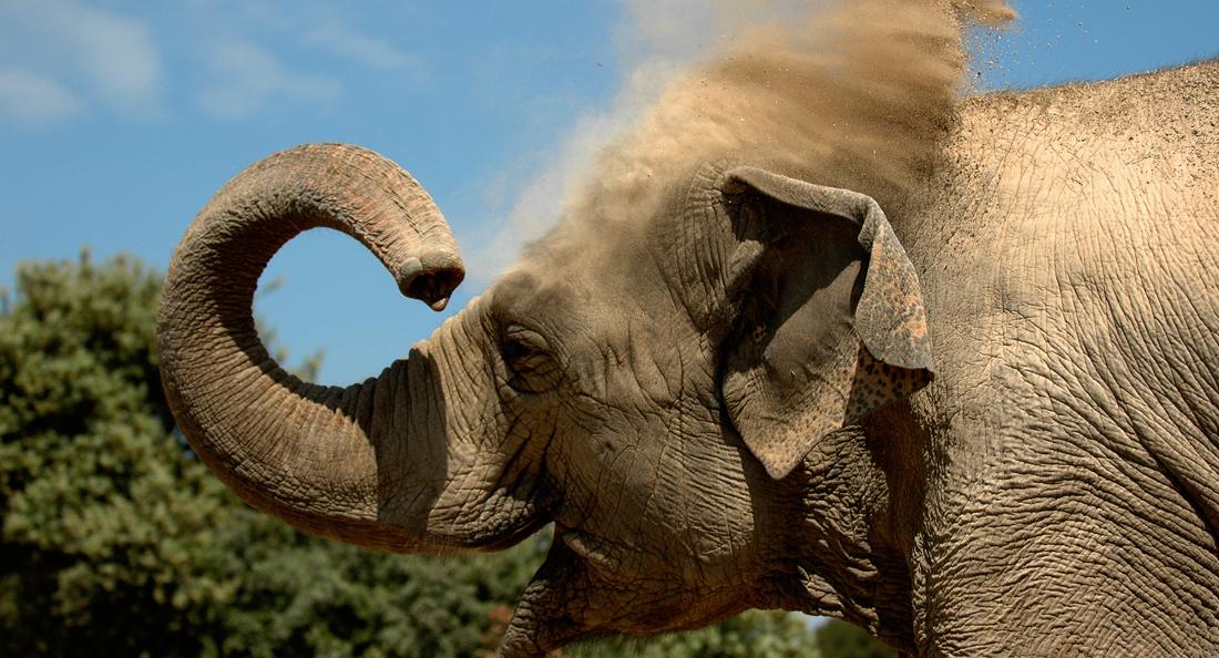 L'lphant d'Asie, en danger critique WWF