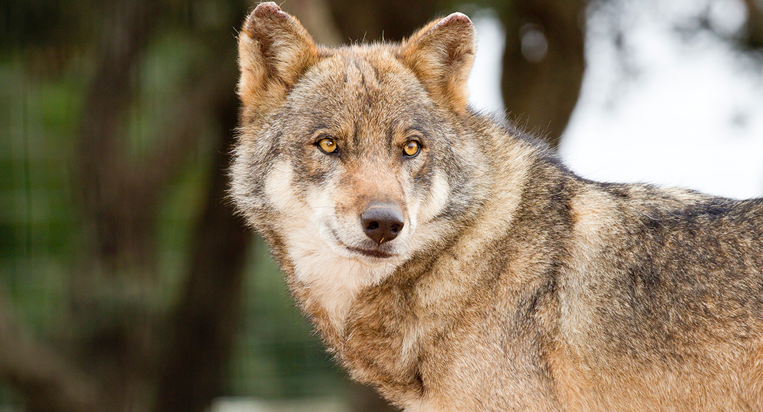 Loup d europe zoo barben - Photo de loup gris a imprimer ...