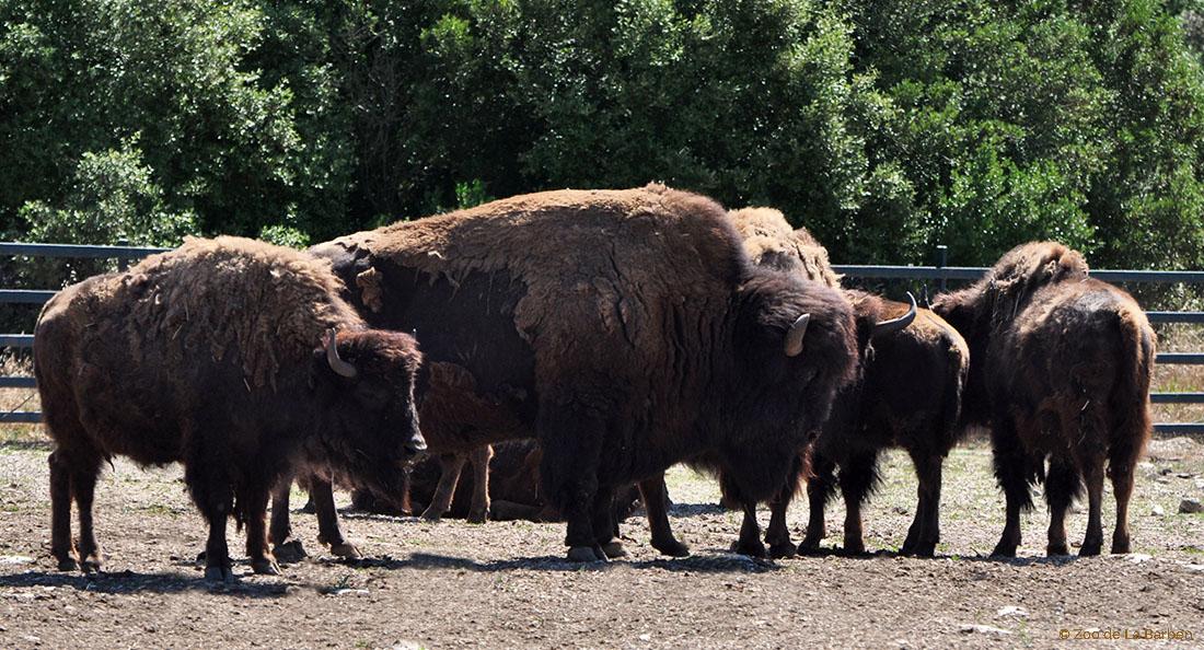Bison d am rique zoo barben - Coloriage bison d amerique ...