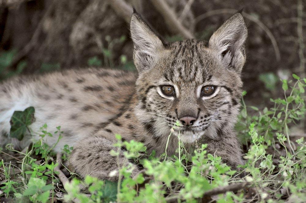 lynx-bebe-zoo-de-la-Barben