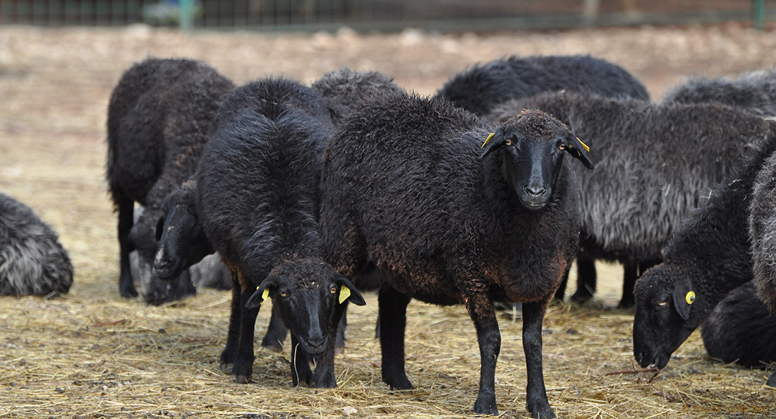 sheep ranch asian dating website Dear sheep herder, humans having sex with animals, otherwise called bestiality or zoophilia, is believed to be fairly uncommon, but because of the stigmatization associated with this.