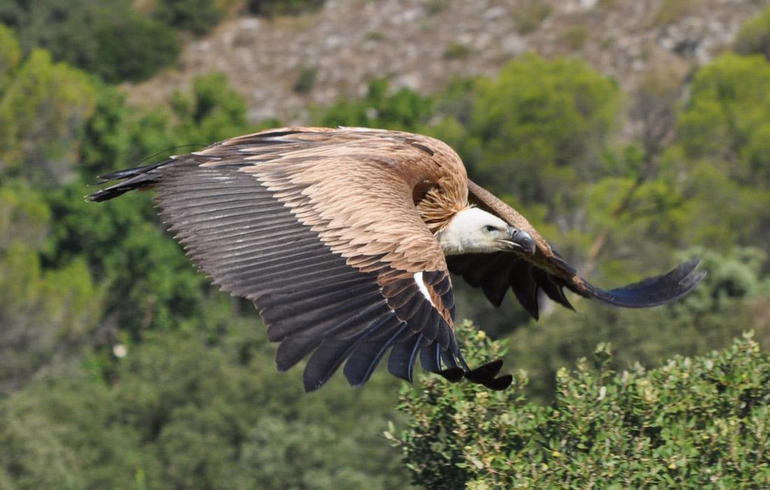atualités vautour fauve